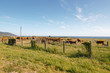 Herd of cows grazing in a field. Rural California landscape