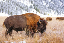Male Bison Standing In A Field During Fall, Grand Teton National Park, Wyoming