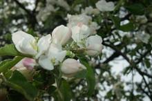 Apple Tree Blosom
