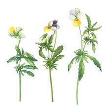 Set Of The Yellow Wild Pansy Flower (Viola Tricolor, Viola Arvensis, Heartsease, Johnny Jump Up, Kiss-me-quick) Hand Drawn Botanical Watercolor Painting Illustration Isolated On White Background