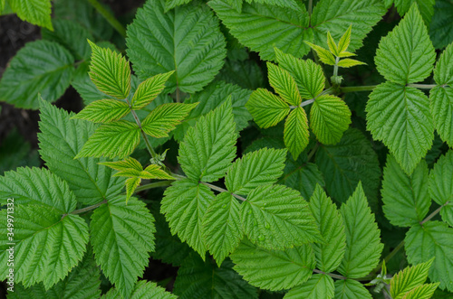 Fotografía background of raspberry leaves. young raspberry bush