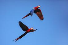 Scarlet Macaws (Ara Macao) Fly...