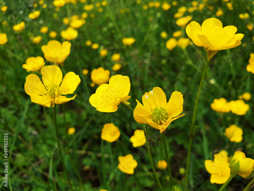 Photo Yellow flowers of Ranunculus acris on green grass background on sunny day