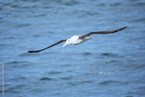 Fotografija Northern royal albatross in flight, Taiaroa Head, Otago Peninsula, New Zealand