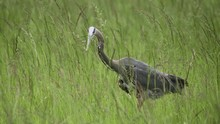 Blue Heron Bird In Tall Green Grass Close Up Slow Motion Walking To Find Food