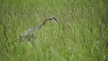 Beautiful Blue Heron Bird In Tall Vibrant Green Grass Looking For Food To Eat Slow Motion
