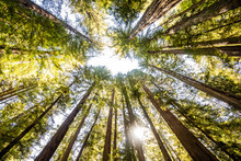 A Group Of Redwood Trees With ...