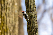 Downy Woodpecker On Spring In Wisconsin State Forest.
