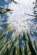 Korn wächst in den Himmel