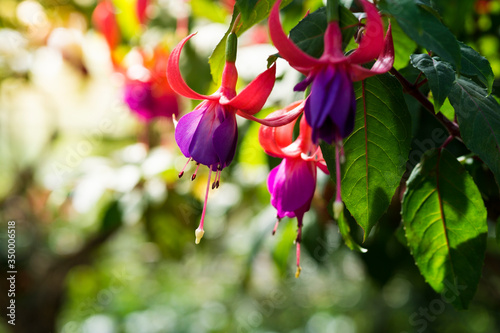 Fotografie, Obraz Close-up Of Fuchsia Blooming Outdoors