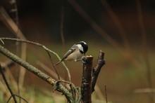 Close-up Of Carolina Chickadee On Tree