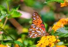Extreme Close-up Of A Gulf Fritillary Butterfly Feeding On A Bright Yellow Flower.