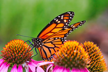 Extreme Close-up Of A Monarch Butterfly Resting And Feeding On A Colorful Purple Bloom.