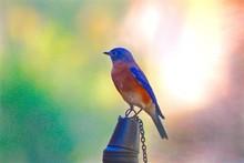 Close-up Of Bluebird Perching ...