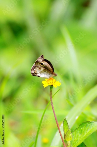 Close-up Of Polyphemus Moth On Yellow Flower In Forest Tablou Canvas
