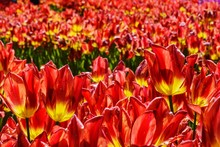 Close-up Of Field Of Red Tulips