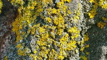 Close-up Of Yellow Moss Growing On Rock