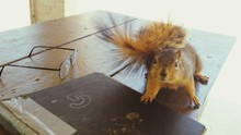Close-up Of Squirrel With Book...