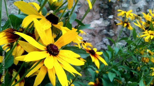 Valokuva Close-up Of Black-eyed Susans Blooming On Field