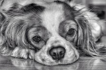 Close-up Portrait Of Cavalier King Charles Spaniel Relaxing On Floor