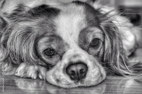 Fotografia, Obraz Close-up Portrait Of Cavalier King Charles Spaniel Relaxing On Floor