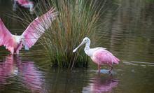 Roseate Spoonbill, Heron, Egret And Wood Stork