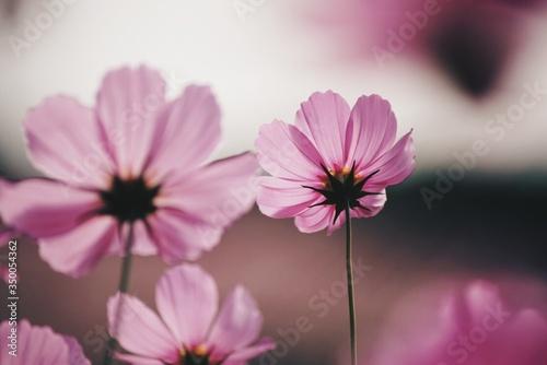 Fototapeta Low Angle View Of Cosmos Flowers obraz na płótnie