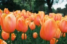 Close-up Of Orange Tulips Growing In Garden