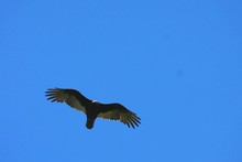 Low Angle View Of Vulture Flyi...
