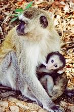 Close-up Of Monkey Mother Breastfeeding Baby