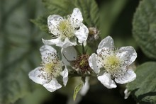 Close-up Of Bramble Flowers Blooming Outdoors