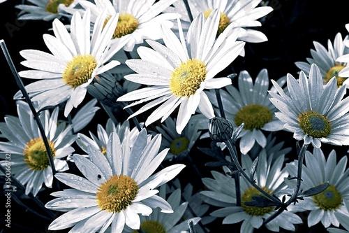 Close-up Of White Daisy Flower Tapéta, Fotótapéta