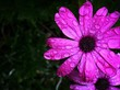 canvas print picture - Close-up Of Pink Flower Blooming In Garden