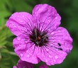 canvas print picture - Close-up Of Wet Purple Flower