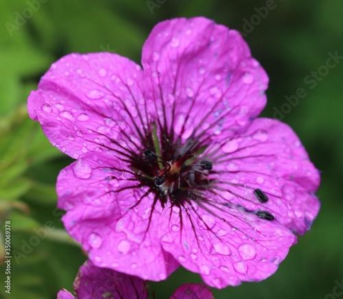 canvas print motiv - jennifer fan/EyeEm : Close-up Of Wet Purple Flower