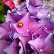 canvas print picture - Ladybug On Flower