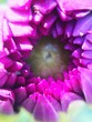 canvas print picture - Extreme Close-up Of Purple Flower Blooming In Park