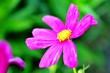 canvas print picture - Close-up Of Pink Cosmos Flower Blooming Outdoors