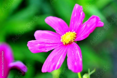 canvas print motiv - lisa kehoffer/EyeEm : Close-up Of Pink Cosmos Flower Blooming Outdoors
