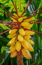 Yellow Papaya Growing On A Tree In Singapore