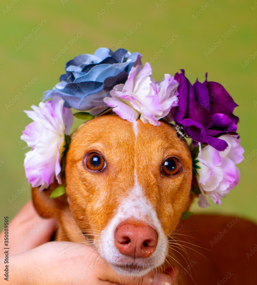 Fototapeta dog brown posing with flowers in head background of Light colors