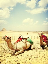 Two Camels Resting On Desert