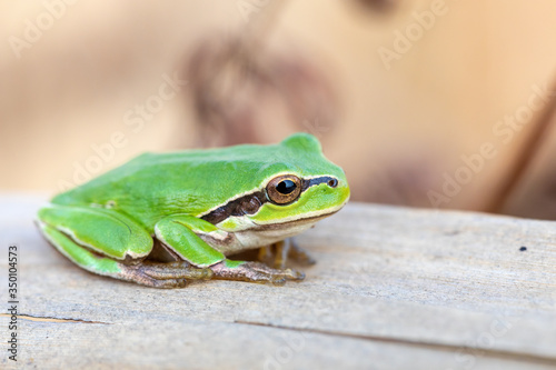 beautiful european tree frog (Hyla arborea formerly Rana arborea) on reeds, small amphibian from Europe Canvas Print