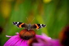 Butterfly On Eastern Purple Coneflower