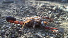 Close-up Of Scorpion And Babies On Field