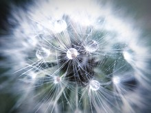 Macro Shot Of Dew Drops On Dandelion
