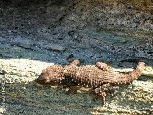 Alligator On Rock Canvas Print