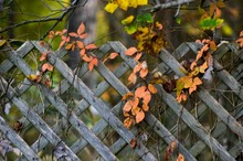 Dry Autumn Vines On Wooden Fence