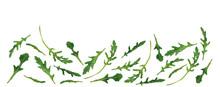Set Freshly Picked Rucola Leaf...