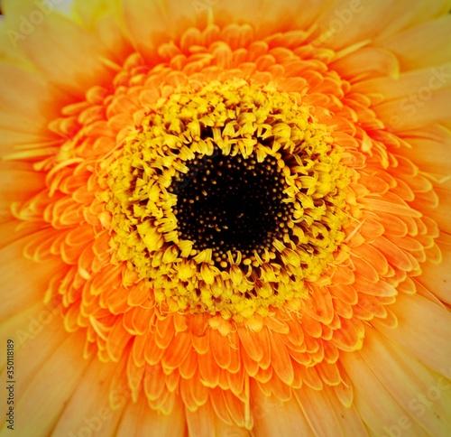 Extreme Close-up Of Orange Daisy Flower Tapéta, Fotótapéta